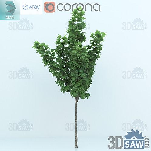 Tree, Plant - Acer platanoides - Norway Maple - MX-0000349