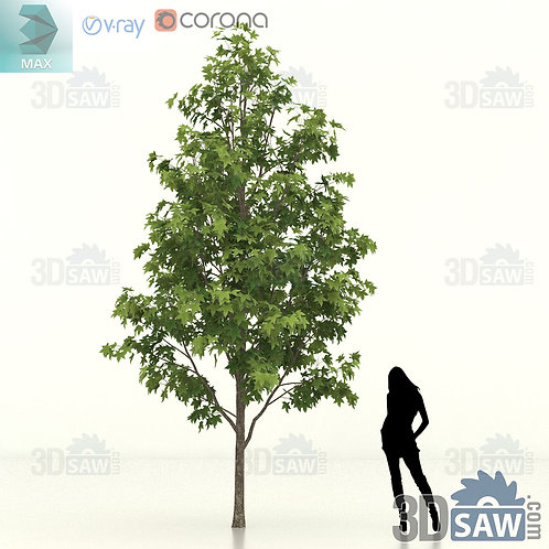Tree, Plant - Liquidambar Formosana - Sweet Gum - MX-448