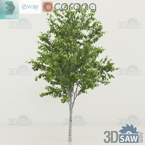 Tree, Plant - Betula utilis - Himalayan birch - MX-0000354