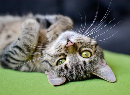 Should I Hire a Pet Sitter or Board My Cat?