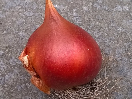 What will grow from a bulb?
