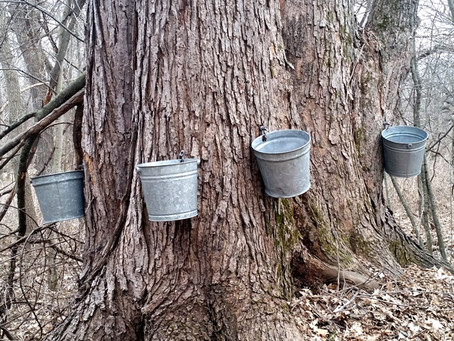 Maple Syrup Addiction! An Early American Entrepreneurial Business