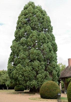 Sequoiadendron giganteum = Séquoia géant.JPG