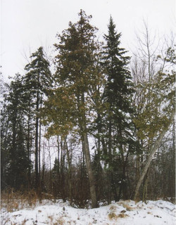 NWC Trees