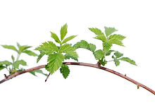 Rubus idaeus.jpg