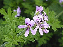 geraniumurose.jpg