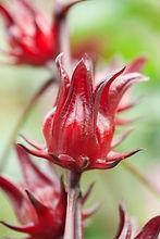 Hibiscus asbdariffa.jpg