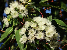 eucalyptus-flower-777903_1920.jpg
