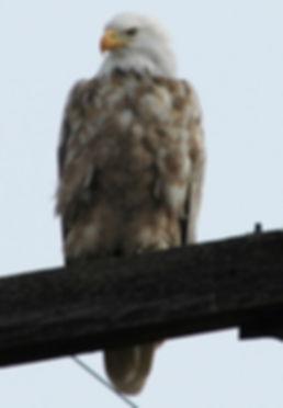 Dilute Bald Eagle
