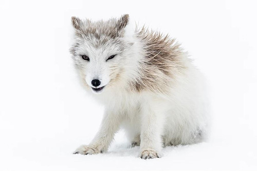 florian-ledoux-arctic fox.JPG