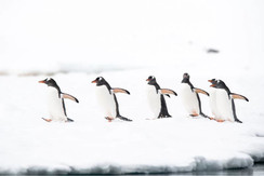 florian-ledoux-penguins