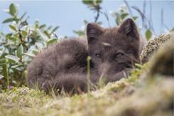 Arctic Fox - Florian Ledoux