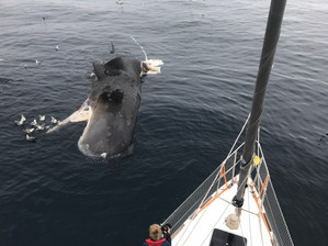Dead-sperm-whale