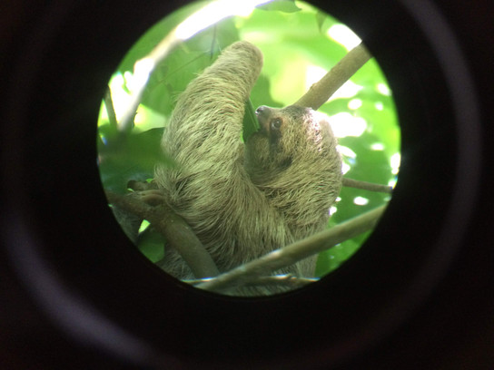How many sloths will you see during your trip to Costa Rica?
