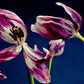 tulips042.jpg