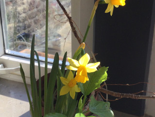 The uplifting benefits of the Daffodil (Narcissus pseudonarcissus)