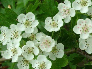 Hawthorn: the flower of the heart