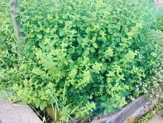 What's growing your garden? Focus on Lemon Balm
