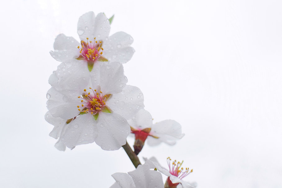white-cherry-blossom-in-close-up-photogr