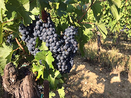 Cesanese grapes.JPG