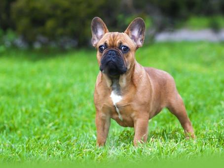 Raças de caes - Bulldogue francês