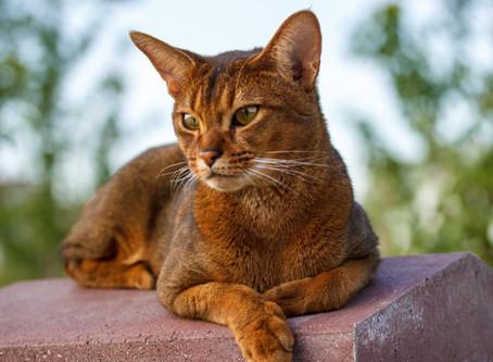 Raças de gatos - Abissínio