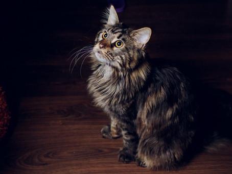 Raças de gatos - Maine Coon