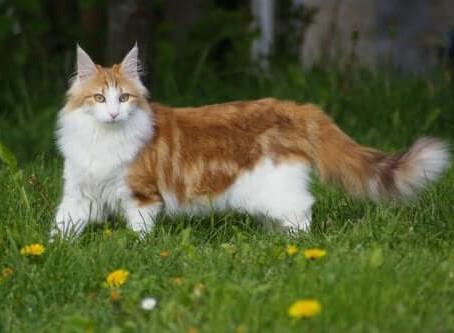 Raças de gatos - Bosque da Noruega