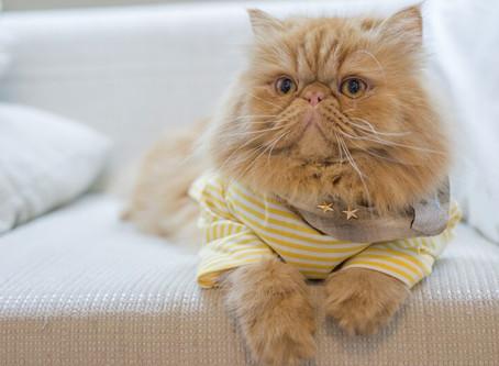 Raças de gatos - Persa