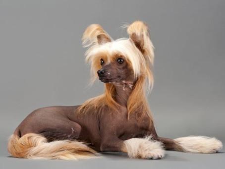 Raça de cães: Cão de Crista Chinês