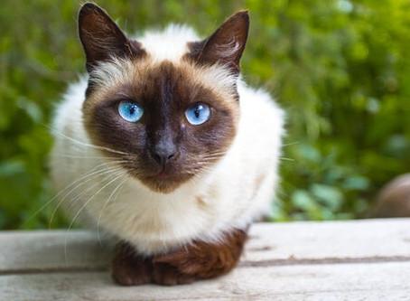 Raças de gatos - Siamês