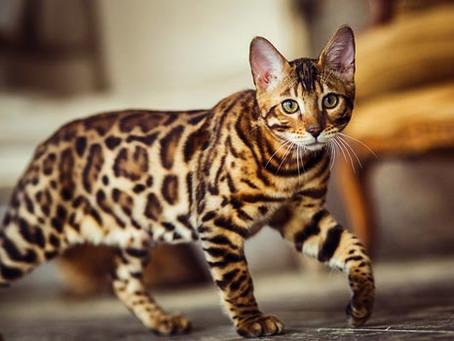 Raças de gatos - Bengal
