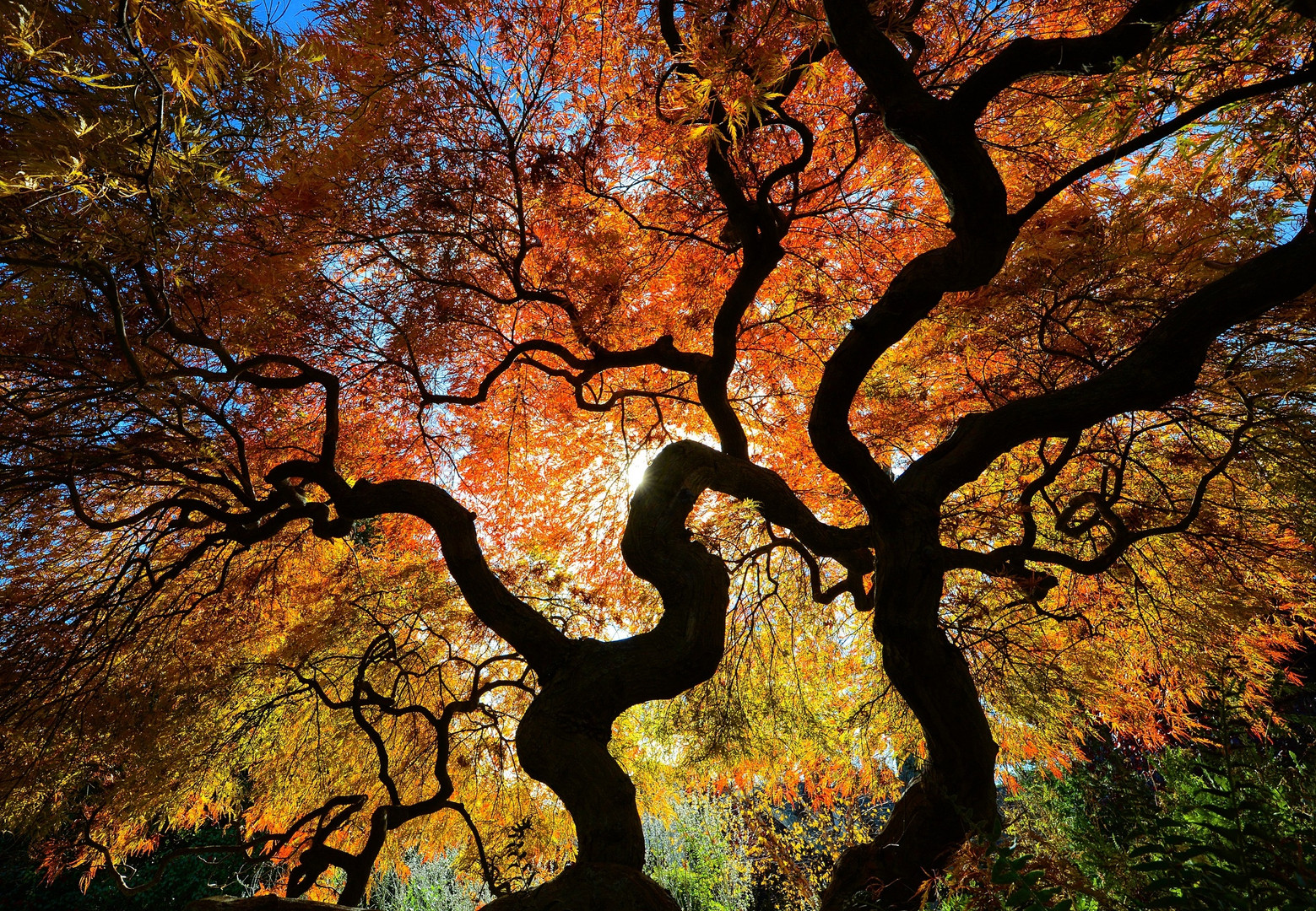 Autumn Acer Maple Tree - Sparta, NJ