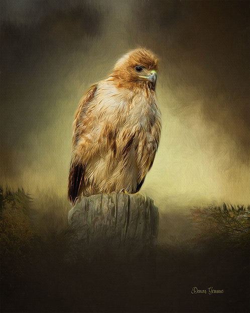 Curious Red Tail Hawk Digital Oil Wildlife Painting
