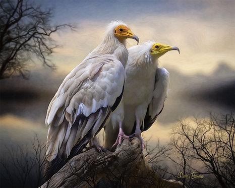 Egyptian Vultures Wildlife Digital Oil Painting