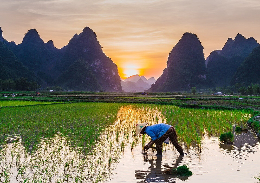 A farmer working in the middle of a rice field