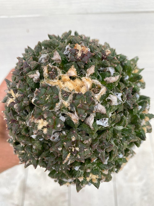 Ariocarpus Godzilla huge cluster
