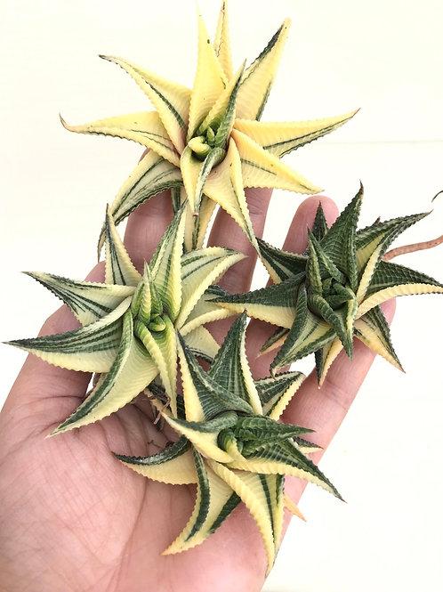 Haworthia limfolia Variegated