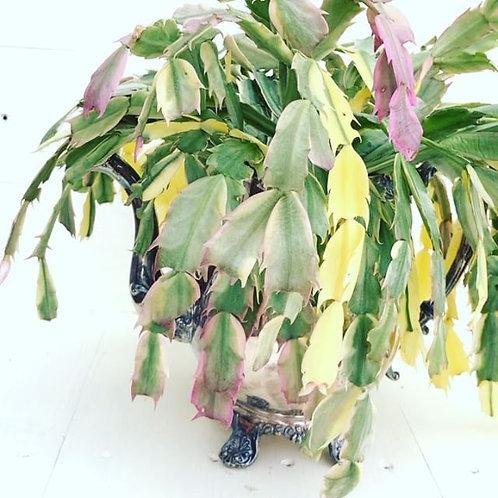 Schlumbergera madame butterfly variegated