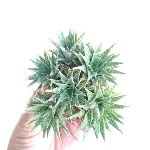 abromeitiella brevifolia small cluster