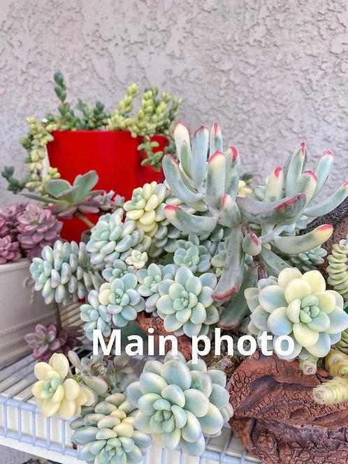Sedum clauvetum variegated