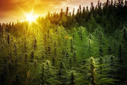 Utah medical cannabis field.