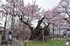Jindai cherry blossom tree.jpg