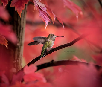 Maple Hummingbird