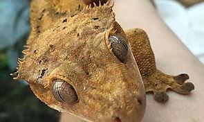crested gecko animal encounter