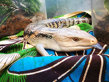 blue tongue skink animal encounter