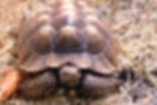 giant african spurred sulcata tortoise animal encounter