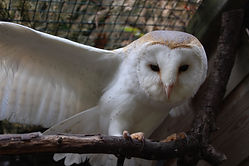barn owl animal encounter
