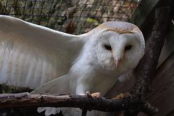 barn owl animal encounter