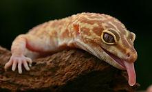 leopard gecko animal encounter
